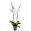 Orchidée Blanche avec Cache Pot