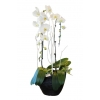 Orchidée Ithaque