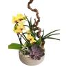Crassulacées & Orchidée